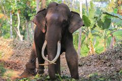 Elephant with tusks Royalty Free Stock Images