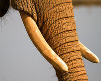 Elephant Tusks Stock Photography