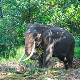 elephant with tusks in the forest Royalty Free Stock Photography
