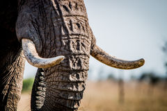 Elephant tusks Royalty Free Stock Images