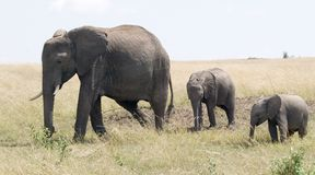 Elephant and two calves. An elephant and two calves stroll across the Masai Mara plains of East Africa Royalty Free Stock Photography