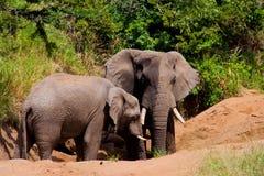 Elephant. Two elephants during a sunbath Royalty Free Stock Photo