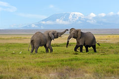 Elephant. Two male elephant conflict in Amboseli Park Royalty Free Stock Photography
