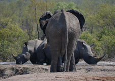 Elephant and two rhinos, Kruger Park, South Africa Stock Photography