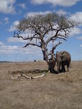 Elephant under dead tree Royalty Free Stock Images