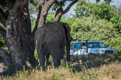 Elephant under tree approaching jeep on track Stock Photography