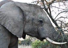 Elephant up close. Bull Elephant pushing against tree up close Royalty Free Stock Photography