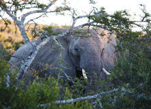 Elephant up close. Wild Bull Elephant through the trees Stock Photos