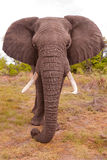Elephant up close. Color image of an African elephant up close Stock Image