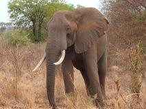 Elephant up close Stock Photo