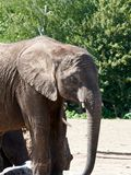 Elephant up close trunk down stock photography