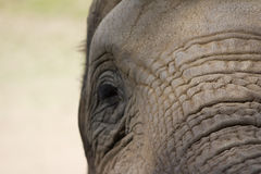 Elephant Upfront. Photograph of an elephant profile, highlighting its wrinkles and age Royalty Free Stock Images