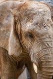 Elephant At Valencia Bioparc, Spain royalty free stock photography