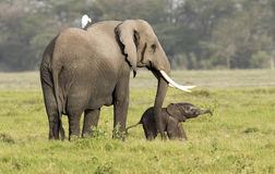 Elephant with very new born calf Royalty Free Stock Photos