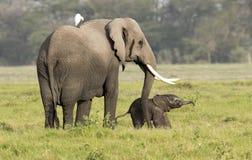 Elephant with very new born calf Royalty Free Stock Photos