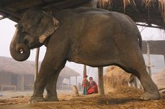 Elephant in village. Side view of large elephant resting under shelter or hut in village being watched by mother and daughter Stock Photos