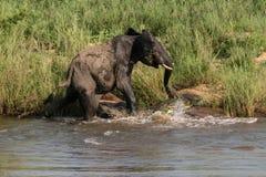 Elephant-vs-Crocodile (1) Royalty Free Stock Photo