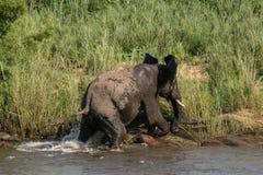 Elephant-vs-Crocodile (2) Royalty Free Stock Images