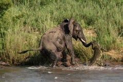 Elephant-vs-Crocodile (3) Royalty Free Stock Image