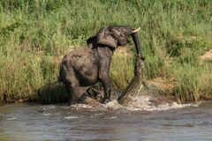 Elephant-vs-Crocodile (4) Stock Photos