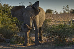 Elephant w/twisted trunk Stock Photography