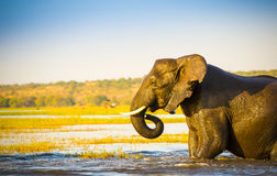 Elephant Wading Across Chobe River Botswana. Large elephant wading across the Chobe River in Botswana, Africa at sunset Royalty Free Stock Photography