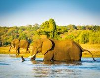 Elephant Wading Across Chobe River Botswana. Large elephant wading across the Chobe River in Botswana, Africa at sunset royalty free stock photos