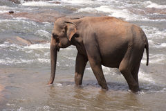 Elephant wading in shallow river. Elephant walking or wading in a shallow river. Biological family: Elephantidae stock photography