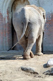 Elephant waiting for the lavatory. Elephant with crossed back legs that looks like it is waiting for the lavatory Royalty Free Stock Photo