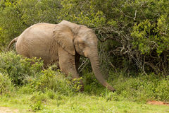 Elephant waking in thick bush Stock Photos