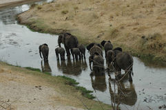 Elephant Walk Stock Image