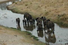 Elephant Walk. Elephants in Tanzania Stock Image