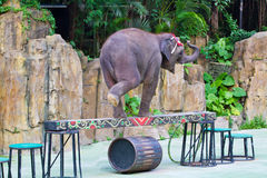 Elephant walk on the balance beam Royalty Free Stock Image