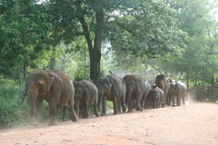 Elephant walk. Elephants going to the river for a bath Royalty Free Stock Images