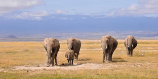 Elephant walk Royalty Free Stock Image