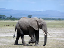 An elephant walking. In Amboseli National Park Royalty Free Stock Photos