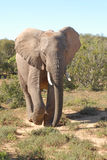 Elephant walking. An Elephant walking to a water hole Royalty Free Stock Image