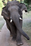 Elephant walking. A high resolution image of an indian elephant walking in the jungle Royalty Free Stock Photography