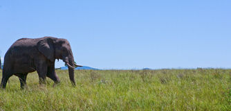 Elephant Walking. Single elephant walking single on a field of green grass Royalty Free Stock Image