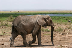 Elephant walking Stock Photography
