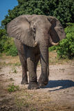 Elephant walking along sandy riverbank towards camera Stock Image
