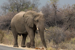 Elephant walking along tared road Royalty Free Stock Photography
