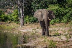 Elephant walking along wooded shoreline in sunshine Royalty Free Stock Photo