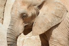 Elephant walking view Stock Photography