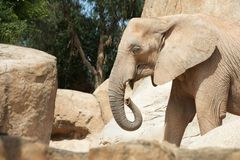 Elephant walking view Royalty Free Stock Photography