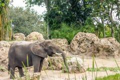 Elephant Walking Around and Drinking Royalty Free Stock Photos