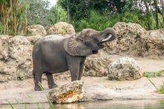 Elephant Walking Around and Drinking Stock Images