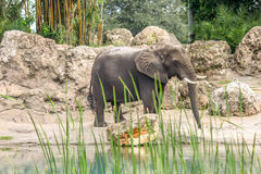 Elephant Walking Around and Drinking Royalty Free Stock Photography