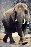 Elephant Walking Stock Photos