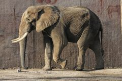 Elephant walking around in a Ouwehands zoo stock image